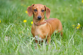 Beautiful dachshund on the green grass