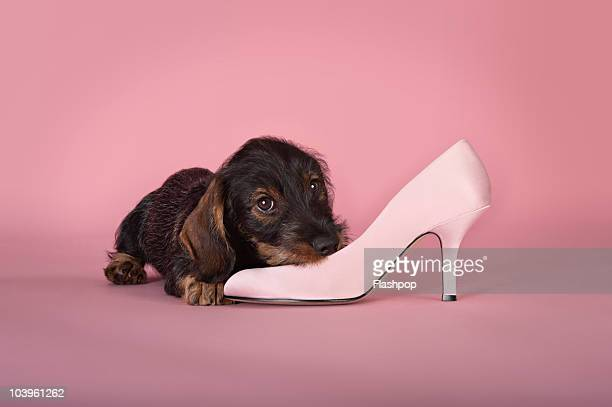 Dachshund puppy chewing a shoe