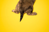 A portrait of the backside of a cute dachshund puppy dog, shot on a yellow studio background.  Horizontal with copy space.