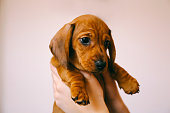 8 weeks old smooth hair brown dachshund puppy isolated in the hands of its female owner.