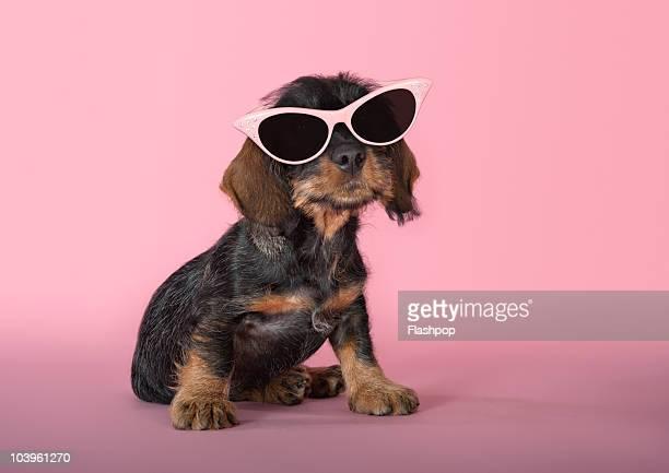 Dachshund puppy wearing sunglasses