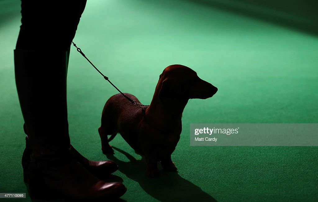 A dachshund stands with its owner as it is is judged in a show ring on the second day of the Crufts dog show at the NEC on March 7, 2014 in Birmingham, England. Said to be the largest show of its kind in the world, the annual four-day event, features thousands of dogs, with competitors travelling from countries across the globe to take part. Crufts, which was first held in 1891 and sees thousands of dogs vie for the coveted title of 'Best in Show'.