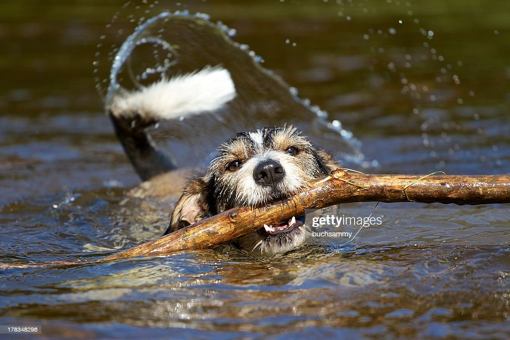 Dachshund terrier mix with stick