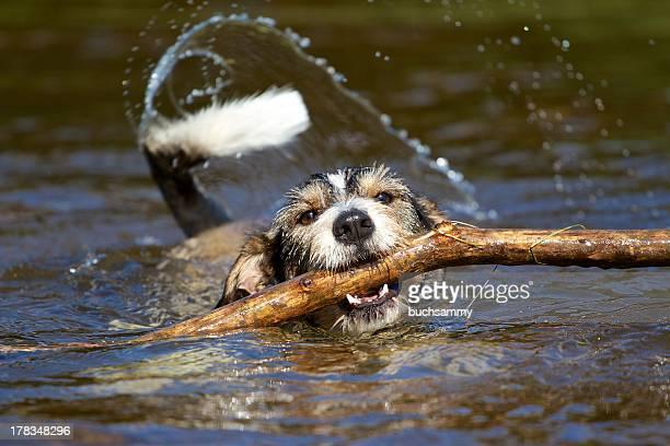 Dachshund terrier mix with stick