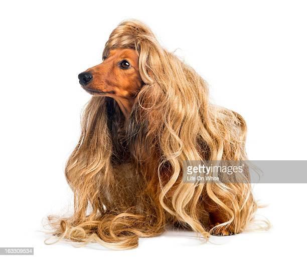 Dachshund wearing a blond wig