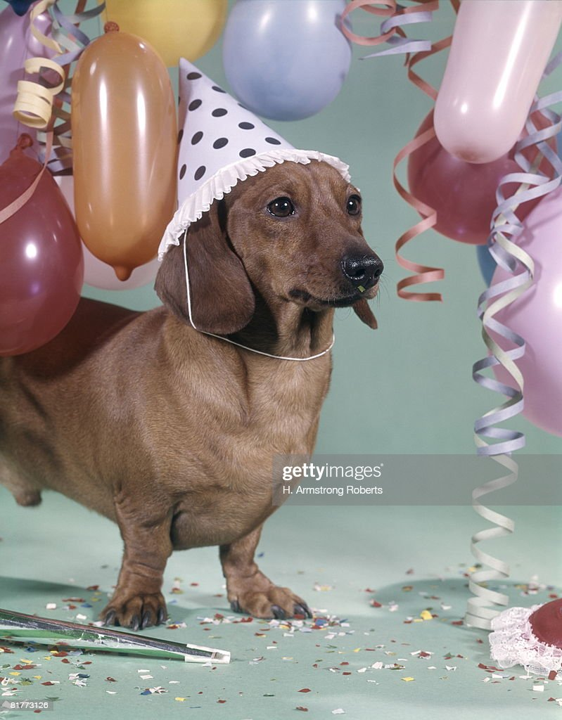 Dachshund Wearing Party Hat With Polka Dots Balloons Streamers Confetti. : Stock Photo