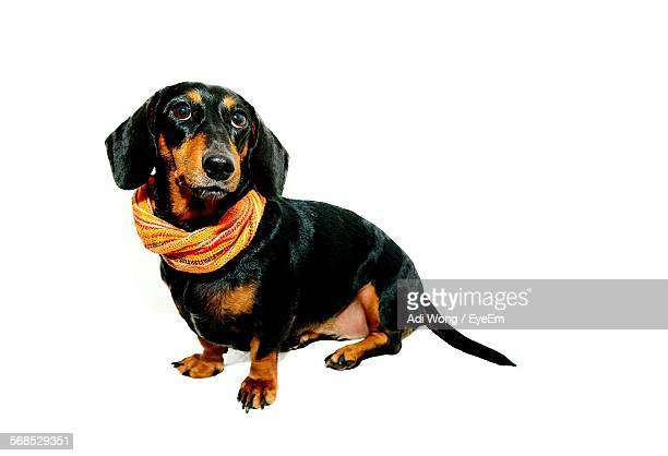 Dachshund Wearing Scarf Against White Background