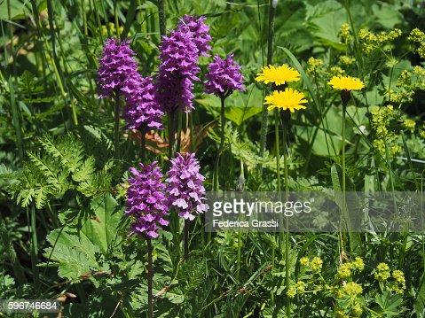 Dactylorhiza maculata (Wild Mountain Orchid)