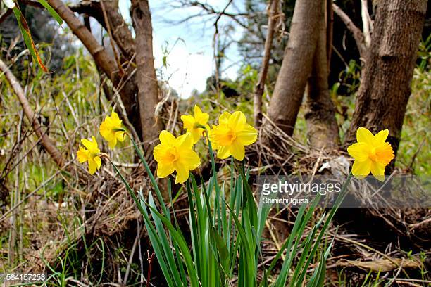 Daffodil at riverbed