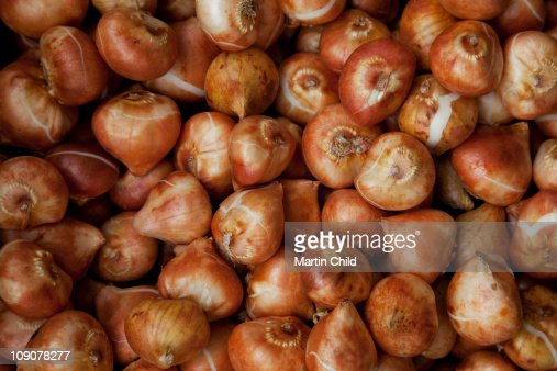 daffodil bulbs for sale : Stock Photo