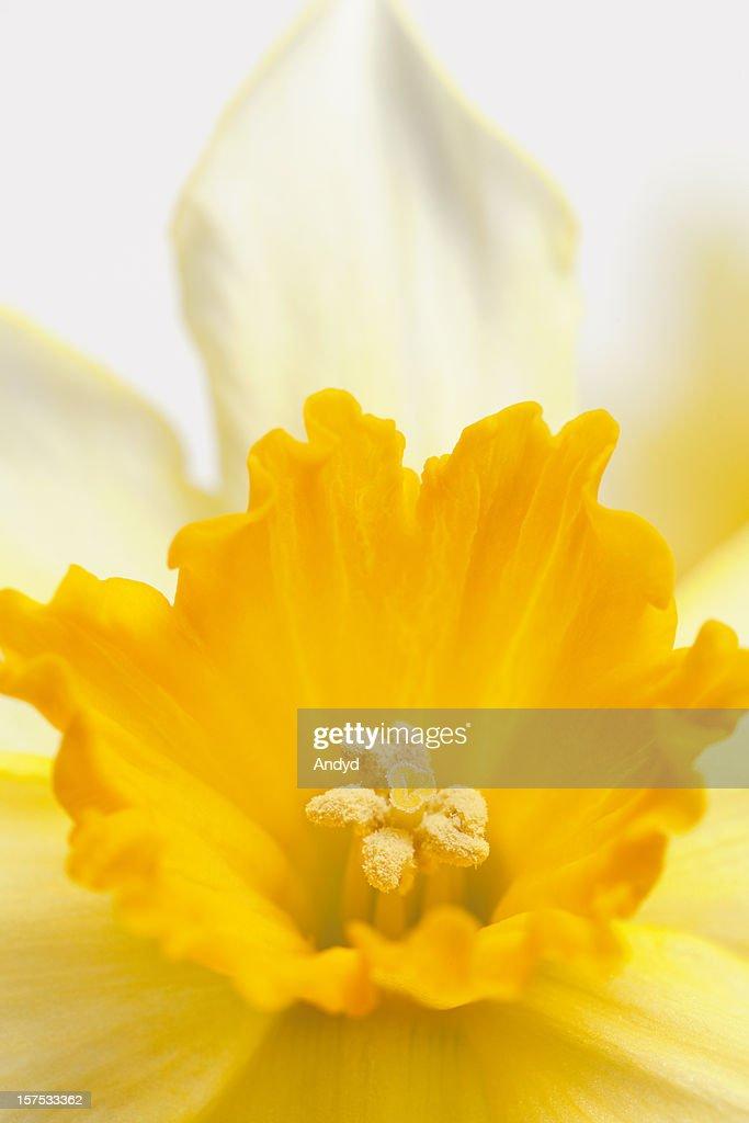 Daffodil Close-Up : Stock Photo