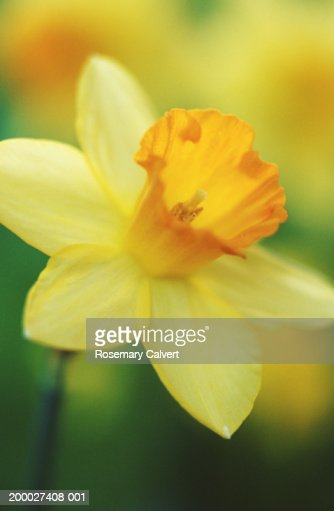 Daffodil (Narcissus sp), close-up (soft focus) : Stock Photo
