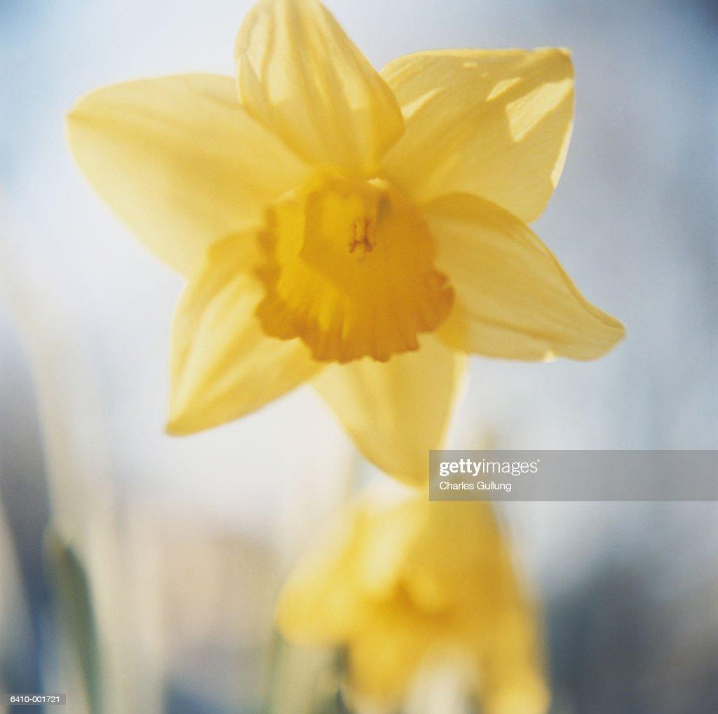 Daffodil Flower : Stock Photo