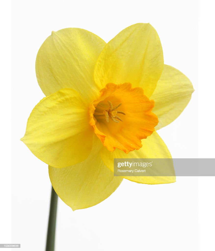 Daffodil in close up, white background. : Stock Photo