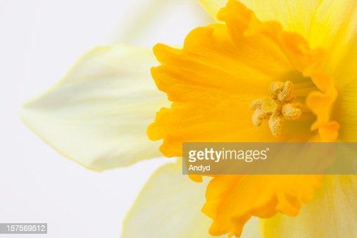 Daffodil : Stock Photo