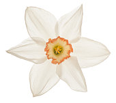 Studio Shot of White Colored Daffodil Flower Isolated on White Background. Large Depth of Field (DOF). Macro.