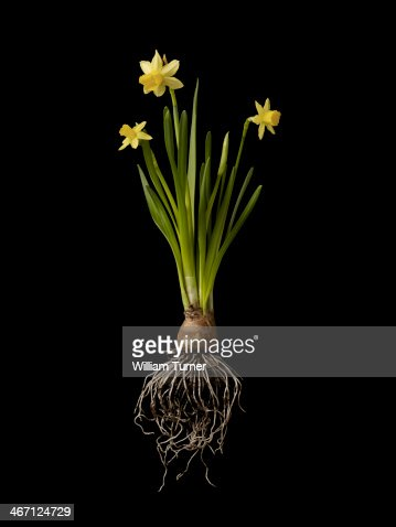 Daffodil plant on black background, showing roots