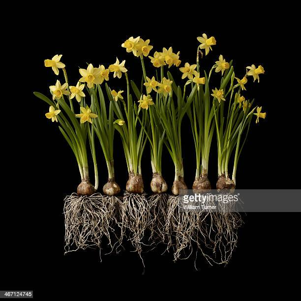 Daffodil plants on black background, showing roots