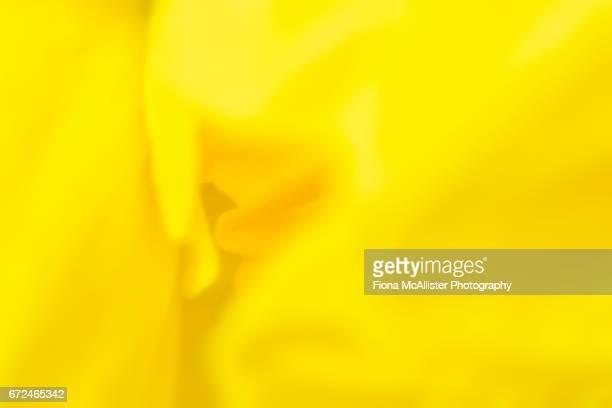 Daffodil Yellow, Close Up
