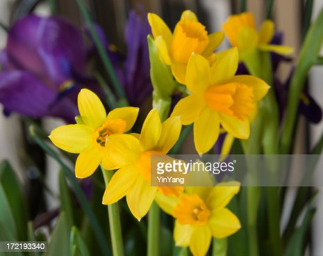 Daffodill Flowers, a Yellow Narcissus Blooming in Spring Flower Bed