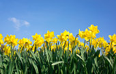 Row of Daffodils against blue sky with small white cloud