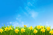 Spring narcissus flowers in green grass against sunny blue sky