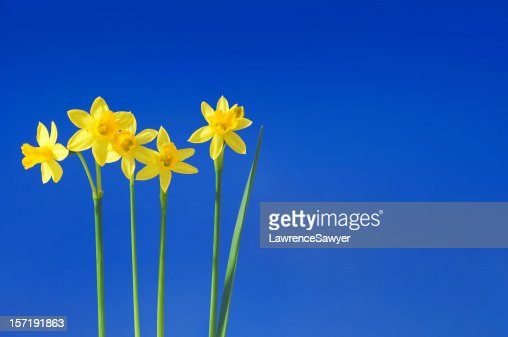 daffodils against the sky