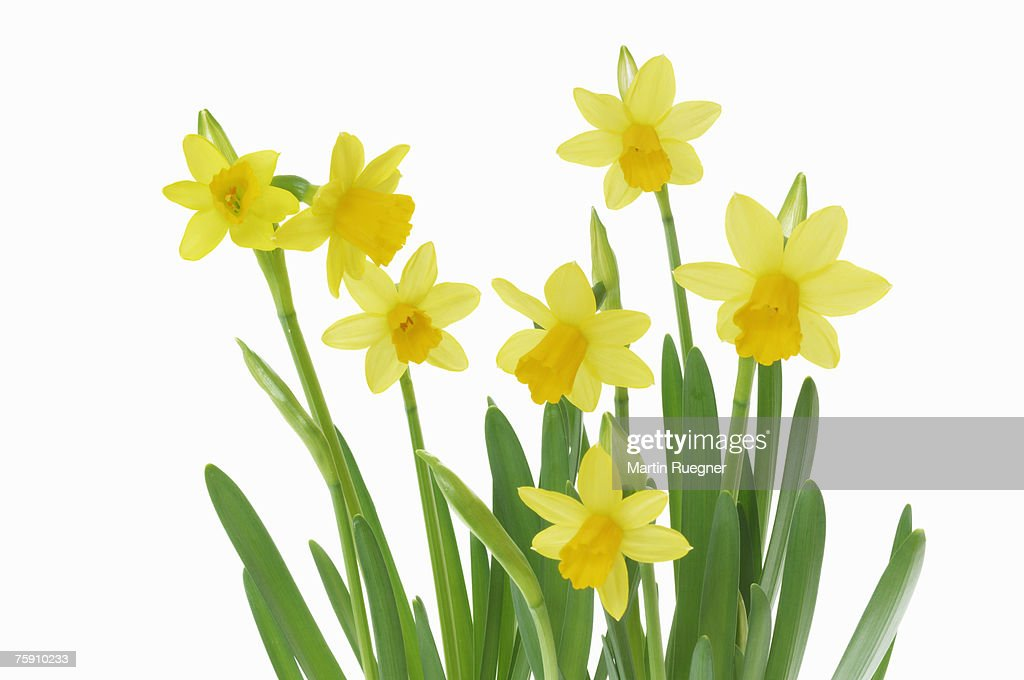 Daffodils (Narcissus sp.) against white background, close up : Stock Photo