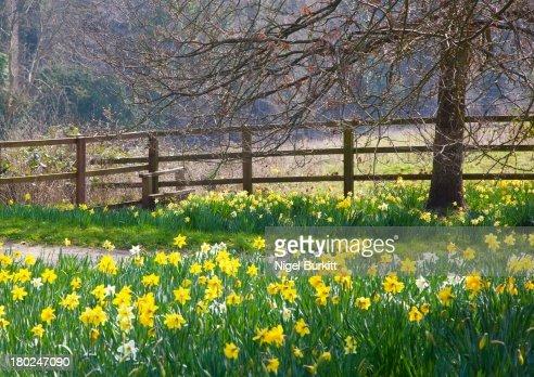 Daffodils alongside a footpath