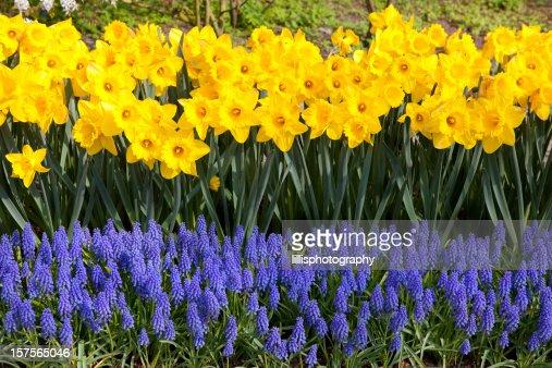 Daffodils and Grape Hyacinths in Garden