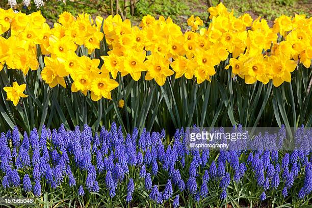 Daffodils and Grape Hyacinths in Garden