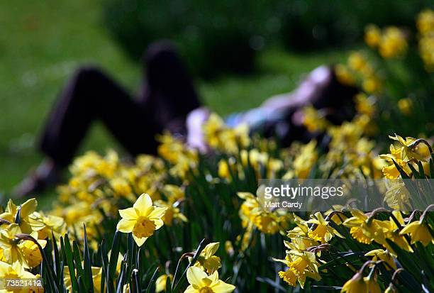 Daffodils bloom in St James's Park as the weather turns spring like on March 8 2007 in London England