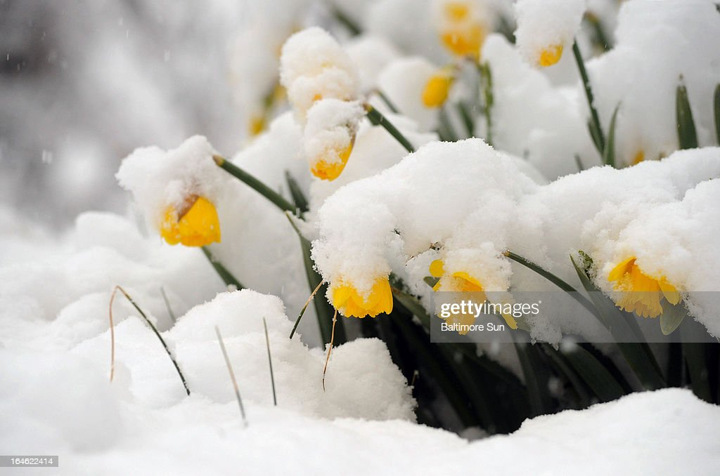 Daffodils bow in the late March snow, Monday, March 25, 2013, in Towson, Maryland.