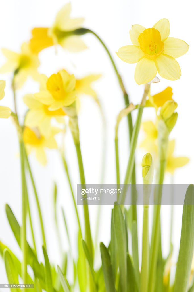 Daffodils, close-up (differential focus) : Stock Photo