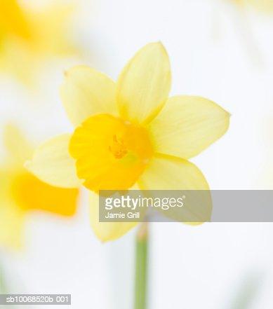 Daffodils, close-up (differential focus) : Bildbanksbilder
