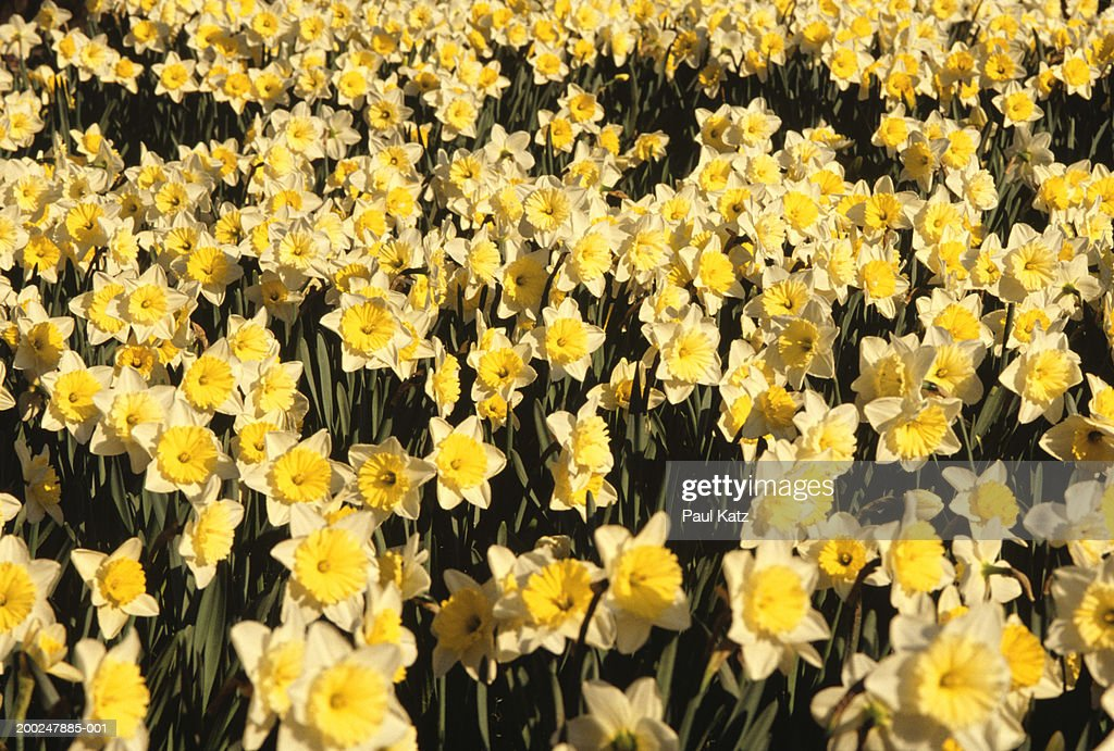 Daffodils, elevated view : Stock Photo