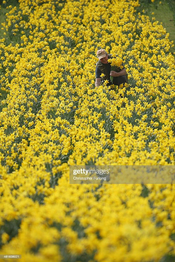 Daffodils expert Len Tomlinson picks blooms at Whitegate Daffodil Walk at Foxwist Green Farm on April 1, 2014 in Whitegate, Cheshire, United Kingdom. Retired farmer and daffodil expert Len Tomlinson opens his land in Vale Royal, Cheshire, every year to raise cash for Macmillan Nurses. The meadows and woodlands have over 600 varieties of daffodils have rasied tens of thousands of pounds for the charity. Although retired, Len continues to develop new species, including blooms that are used in research for medical purposes. After a good summer last year and a wet winter the blooms are at their best ever and can be seen until April 13, 2014.