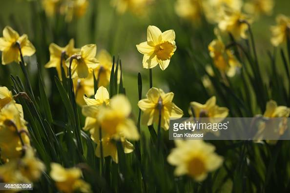 Daffodils flower in St James's Park on April 1 2015 in London England Despite the sun making a brief appearance today strong gales heavy winds and...