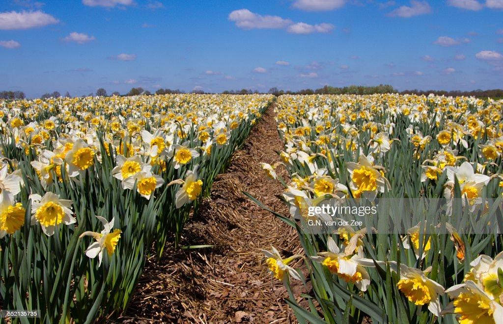 Daffodils flowerfields