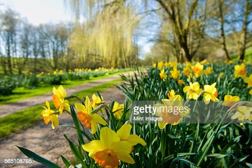 Daffodils flowering in spring sunshine, by a garden path.