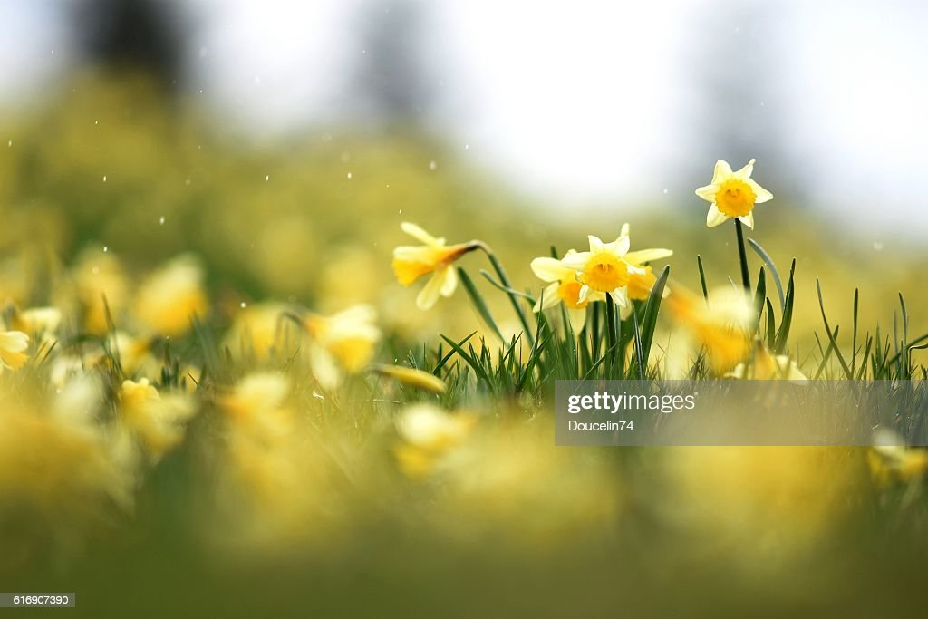 Daffodils in a field : Stock Photo