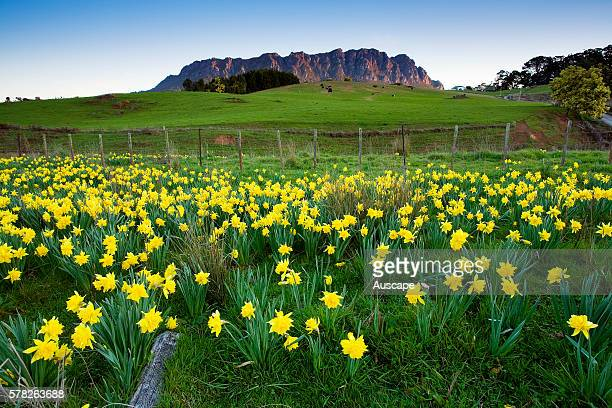Daffodils in flower near Mount Roland northwest Tasmania Australia