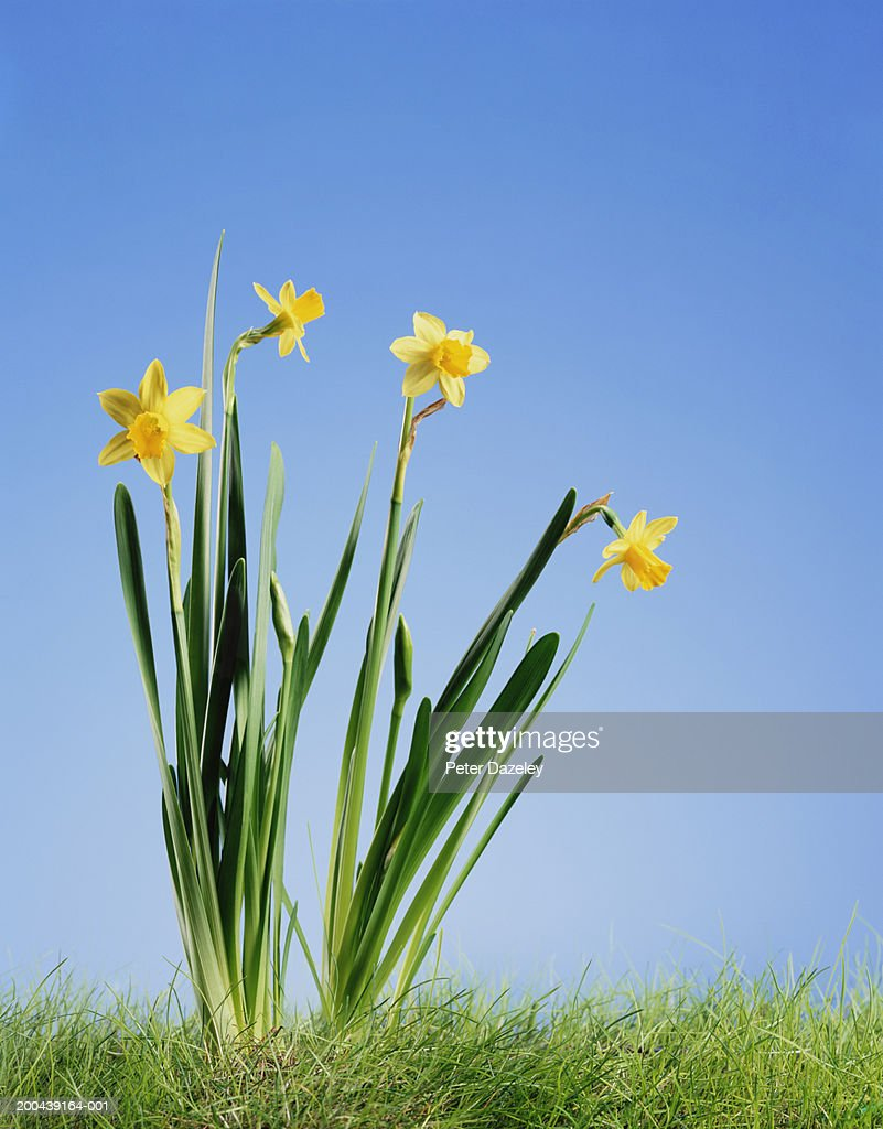 Daffodils in grass : Stock Photo