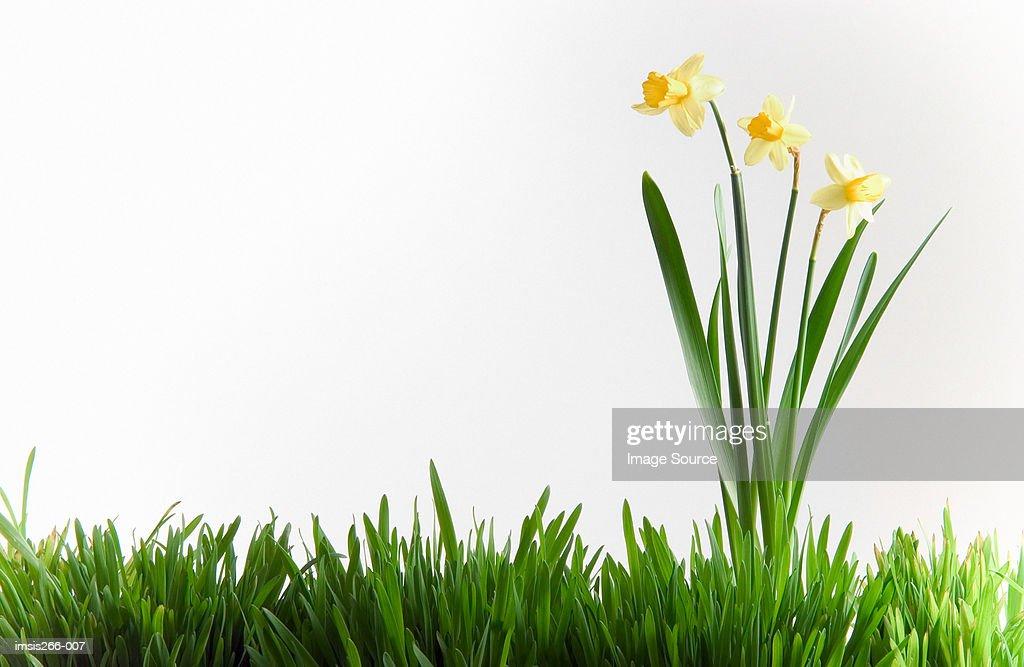 Daffodils in grass : Stock Photo
