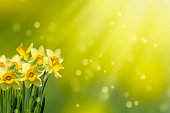 daffodils in idyllic abstract springtime