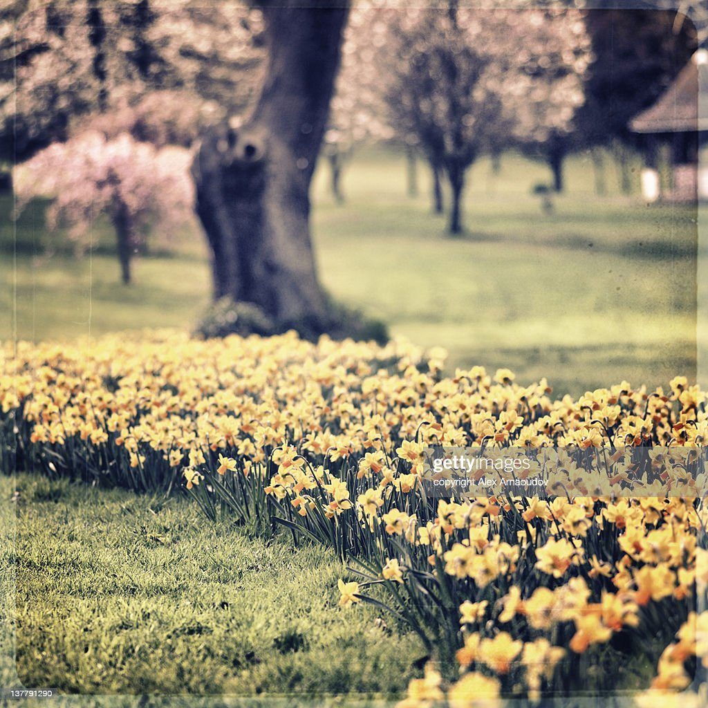 Daffodils in park : Stock Photo