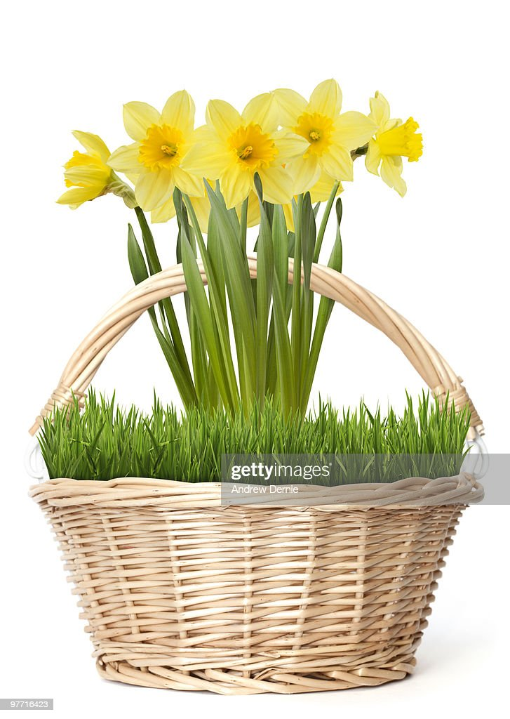 Daffodils in Spring : Stock Photo