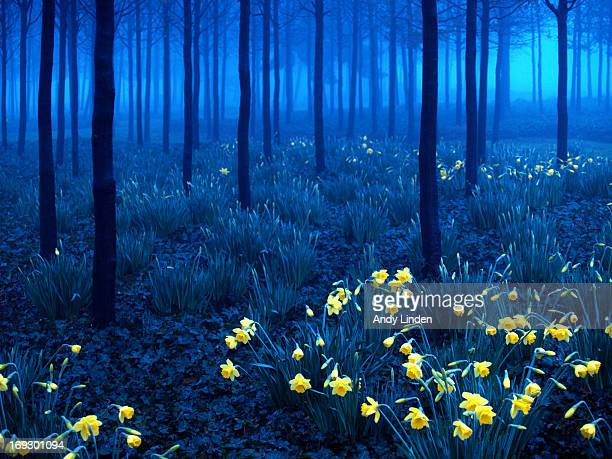 Daffodils in the blue mist