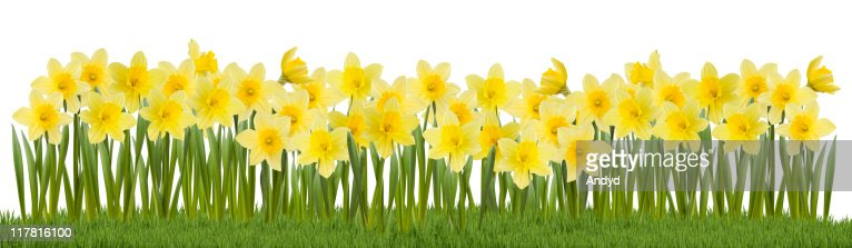 Daffodils on Grass