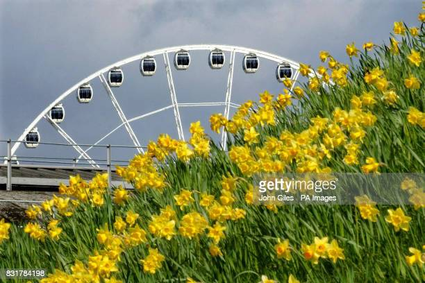 Daffodils on the City Walls of York on Easter Sunday as the York Eye rises in the background